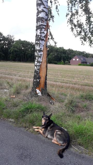 Liegender Hund am Straßenrand vor Birke mit abgeschälter Rinde