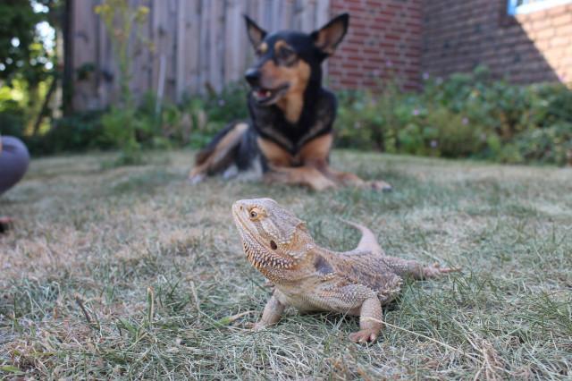 Bartagame und Hund